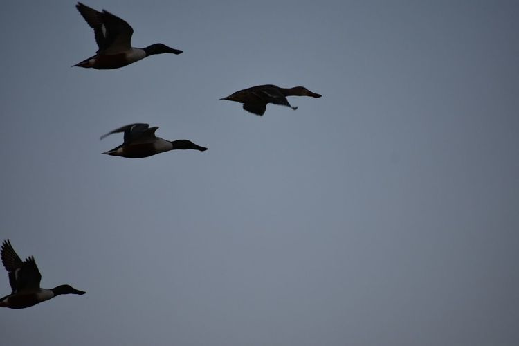 Animal Wildlife Animals In The Wild Canadian Geese Flying Four Geese Low Angle View No People Sky Spread Wings