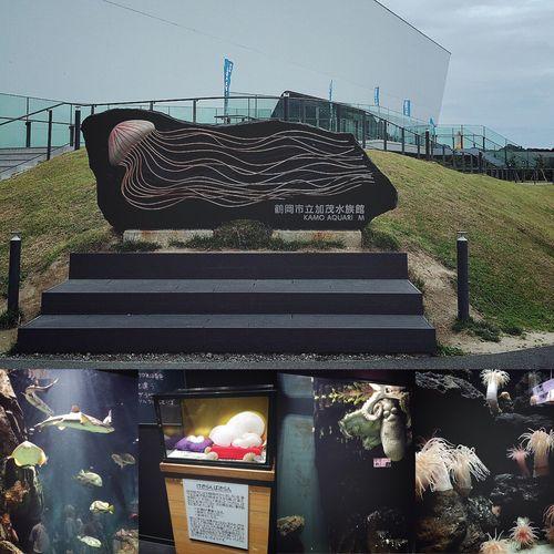 秋田山形日記 DAY 4 加茂水族館① 善寳寺で人面魚を見てから、次に向かったのは鶴岡市にある【加茂水族館】です🐠🐟🐡🐚 かもすいは、クラゲを中心とした水族館です🌕 いつか行ってみたいなぁ♪と思っていました😊 館内マップはシンプルで、スイスイ進んでいきます🐟👣 淡水魚と海水魚コーナーでは、卵を産んだばかりのおっきなタコや、海のなかで生えた木のようなイソギンチャクなどがいました🐙🌳🌲🐠🐟 次のページからは、クラゲのオンパレードです🌊🌕🌑 つづく。 秋田山形日記 山形 加茂水族館 かもすい 水族館 Aquarium たこ イソギンチャク ケサランパサラン 旅行記 旅行 旅