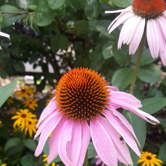 Flower Eastern Purple Coneflower Pink Color Plant Fragility Petal Purple Day Nature Close-up Flower Head Beauty In Nature Outdoors No People Freshness