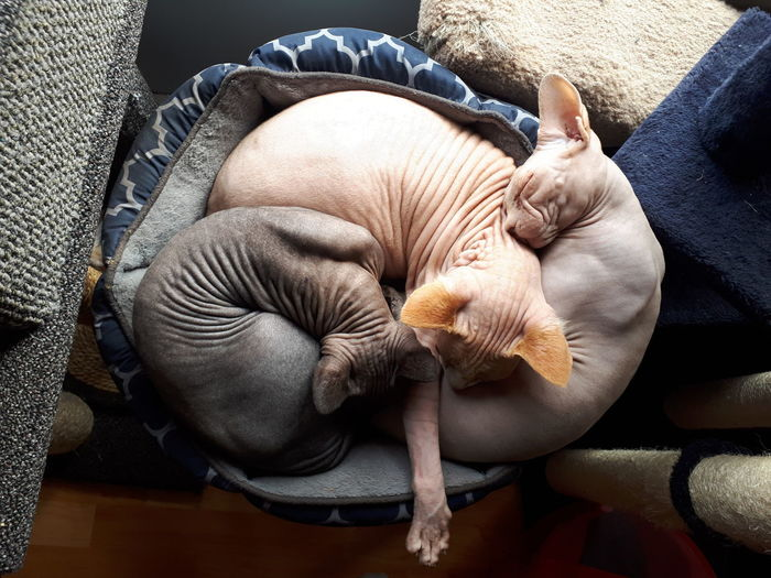 Sphynx Cat Sphynxcats Pink Panther Panther Mammals 3cats Trapped Sleeping Close-up Cat Domestic Cat Feline Confined Space