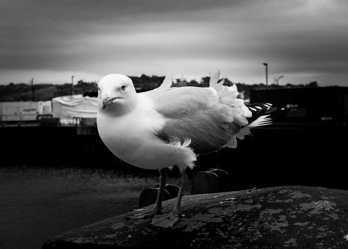 seagull preying on the unwary Seagull Perching Beak Sea Bird Avian