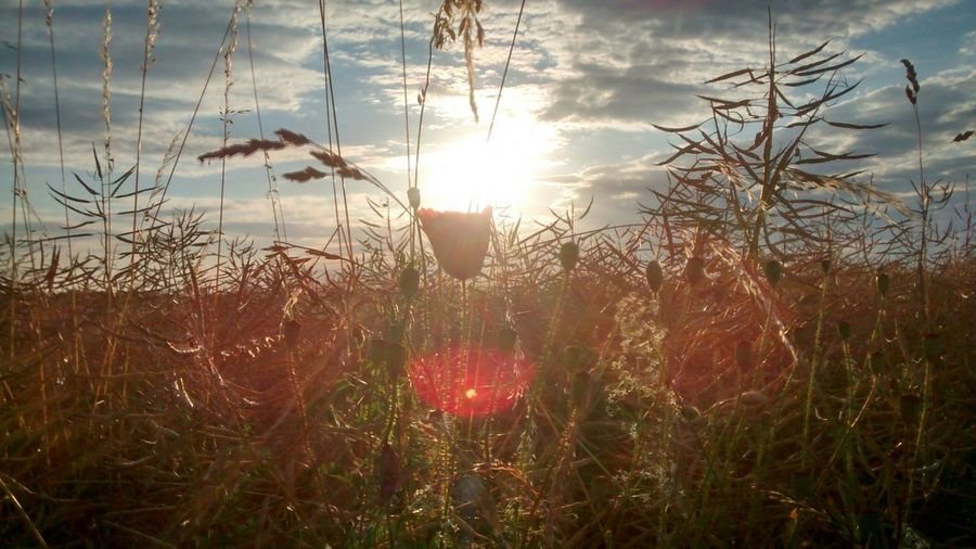 Nature Nature_collection Sunset Sun Beauty EyeEm Nature Lover Sky Clouds Flowers Field
