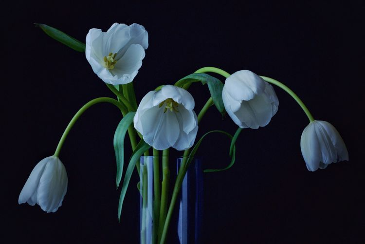 White tulips in glass against black background
