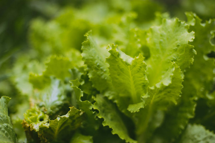Backgrounds Beauty In Nature Close-up Day Food Food And Drink Freshness Full Frame Green Color Growth Healthy Eating Herb Leaf Lettuce Mint Leaf - Culinary Nature No People Outdoors Plant Plant Part Selective Focus Vegetable Wellbeing