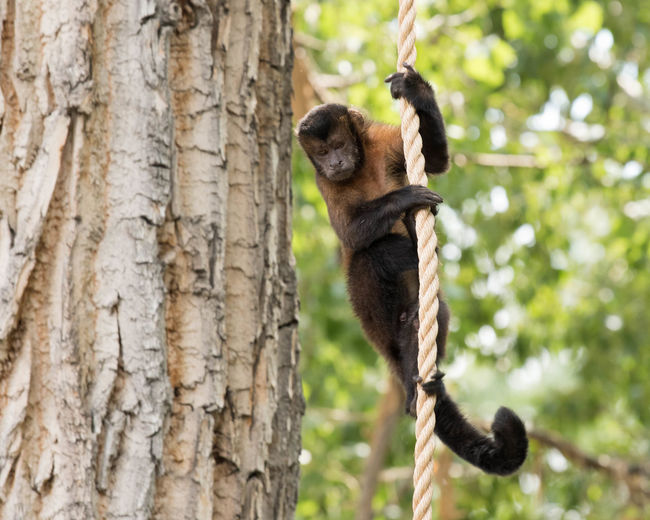 Capuchin Monkey Animal Themes Animal Wildlife Climbing Hanging Mammal Monkey Nature Outdoors Tree Tree Trunk