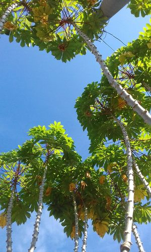 Tapioca Plant Tree Low Angle View Nature Sky Blue Outdoors Day Growth Green Color Leaf Fruit Beauty In Nature Clear Sky No People EyeEmNewHere The Week On EyeEm