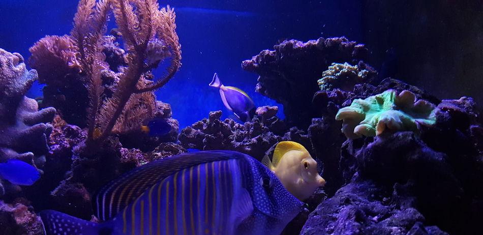 Yellow Tang Zebrasoma Flavescens Zebrasoma Desjardini Saltwater Aquarium EyeEm Selects UnderSea Swimming Water Sea Life Scuba Diving Underwater Crowd Women Spectator Fish Fish Tank Aquarium Tank