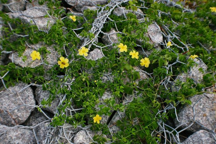 Chain Can't Hold Me In Flowers Florida Lake Okeechobee Pattern Pieces Daisies Yellow Flowers Chainlink Fence Chainlink