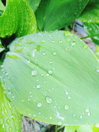 Summer Rain Water Leaf RainDrop Drop Wet Backgrounds Full Frame Close-up Plant Green Color Droplet Water Drop