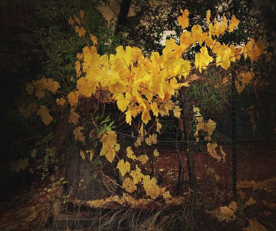 """""""Vein Of Gold"""" Struck it rich in beautiful gold grapevine leaves while prospecting along a fence in a garden in Northern California. Autumn Leaves Autumn colors Garden Grapevine Gold Leaf Gold Colored No People Full Frame Tree Backgrounds Yellow Growth"""