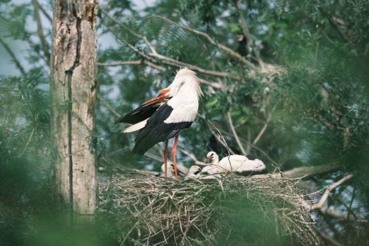 White stork family perching on nest in forest