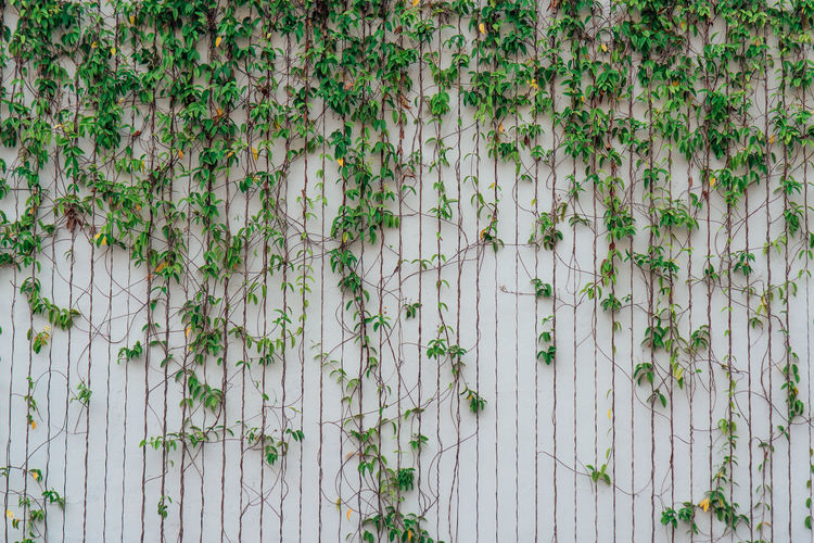 Wall with plant Backgrounds Beauty In Nature Creeper Plant Day Flower Flowering Plant Fragility Freshness Full Frame Green Color Growth Ivy Leaf Nature No People Outdoors Plant Plant Part Vulnerability  Wall - Building Feature Wallpaper White Color