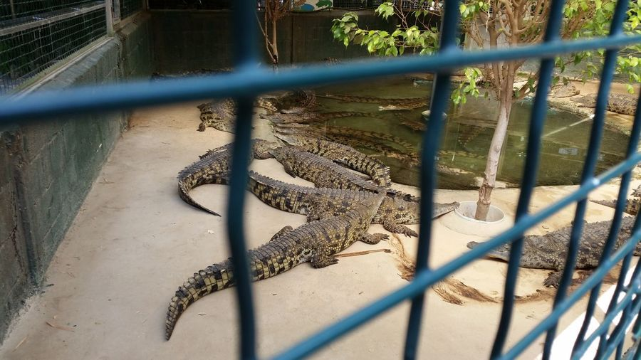 Crocodiles by pond at hamat gader seen through fence