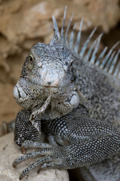 Animal Themes Animal Wildlife Animals In The Wild Caribbean Caribbean Beast Close-up Day Iguana Leguan Nature No People One Animal Outdoors