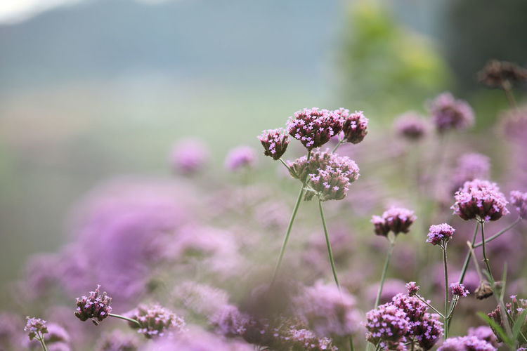 Flower Flowering Plant Plant Freshness Growth Fragility Vulnerability  Beauty In Nature Nature Close-up Selective Focus Focus On Foreground Day No People Flower Head Pink Color Field Land Outdoors Inflorescence Purple Lilac