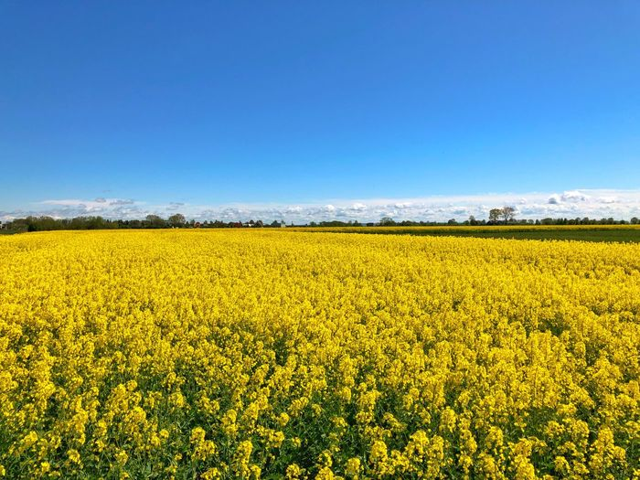 Field Colza Rapeseed Yellow Nature Sky Horizon Blue Beauty In Nature Landscape Scenics - Nature Land Plant Agriculture Rural Scene Flower Environment Oilseed Rape Tranquility Crop  Tranquil Scene No People Freshness Springtime Outdoors
