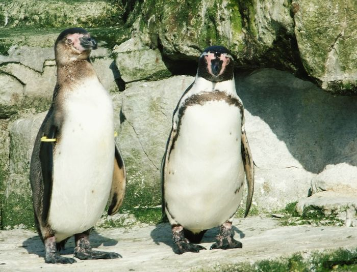 Chester Zoo Penguin