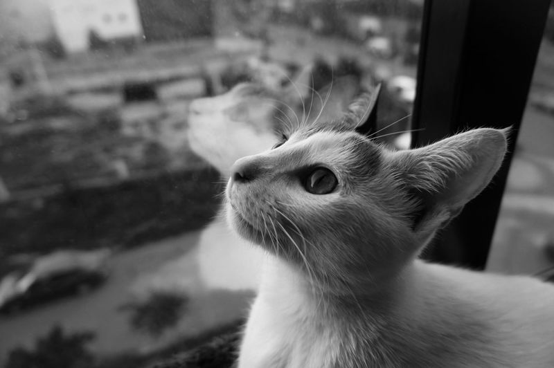 The mini Tigress  be Dwelling (BNW Version) 🐈😇🌌 Blackandwhite Monochrome Shades Of Grey Black Vs White Contrast Pets By The Window Contemplating The Thinking Cat Thinking Cat Contemplating Beauty Contemplating Life Contemplative Contemplating For Peace Zoning Moment Of Zen Namaste Yoga Doing Yoga Window View Cat Cats Cat Lovers