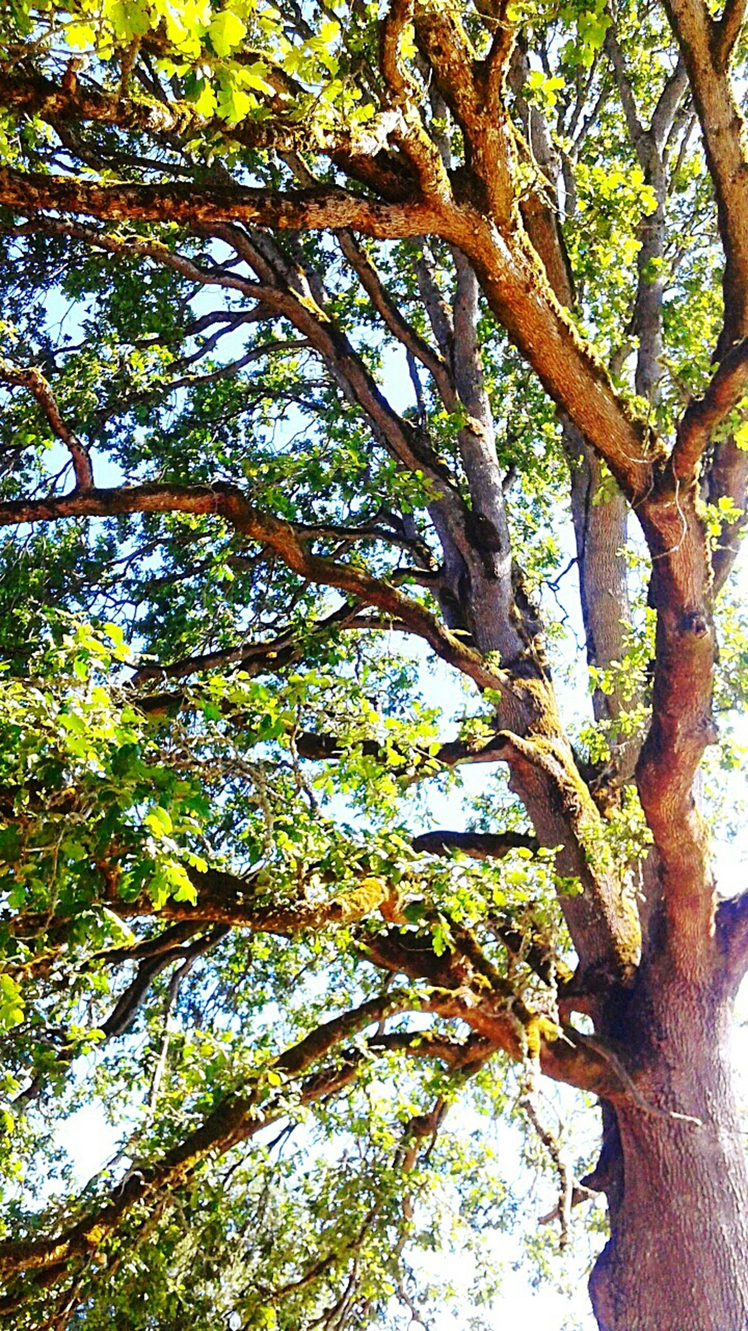 tree, low angle view, branch, growth, green color, tree trunk, nature, leaf, tranquility, beauty in nature, lush foliage, day, green, directly below, outdoors, no people, sky, sunlight, tree canopy, backgrounds
