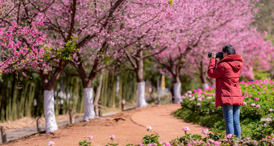 asian woman traveler was sightseeing Cherry Blossom , Beautiful cherry blossoms. Panorama Sakura Cherry Blossom Japan Take Photos Travel Tourism Beautiful Sightseeing Flower Pink Nature Outdoors Photographer Happiness Romantic ASIA Lifestyles Relaxing Park Garden Camera Spring Thailand Chiangmai