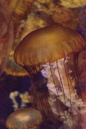 Pacific sea nettle called Chrysaora fuscenscens is seen as far south as Baja California and as far north as British Columbia. Chrysaora Fuscenscens Gorgon Tentacles Jellyfish Marine Life Pacific Sea Nettle Sea Nettle Stinging Nettle Stinging Tentacles Venomous