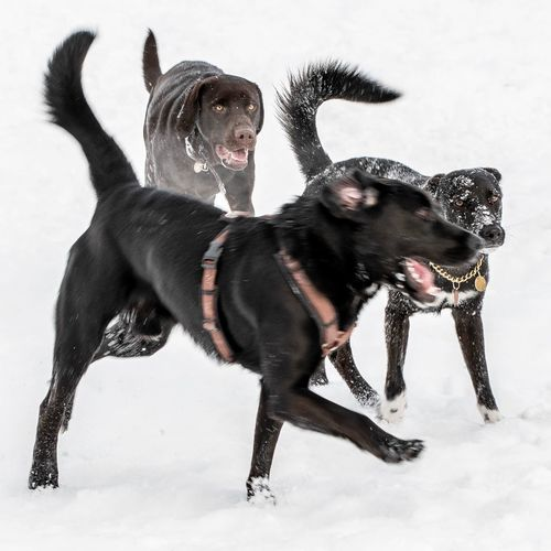 Dogs Playing In The Snow Snow Dog Canine Cold Temperature Winter Mammal Animal Themes Domestic Animals Animal Domestic Pets Vertebrate No People