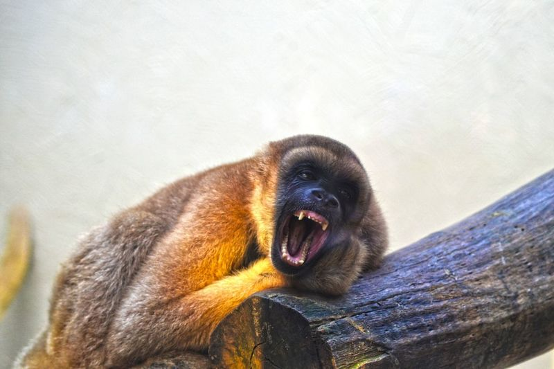 One Animal Animal Themes Mouth Open Mammal Animals In The Wild Animal Wildlife No People Day Outdoors Nature Monkey Close-up Animal Wildlife Photography Wildlife & Nature Wildlife Wild Nature Beauty In Nature Animals In The Wild Monkeys Animals Animal Photography Primate Wildlife Photos