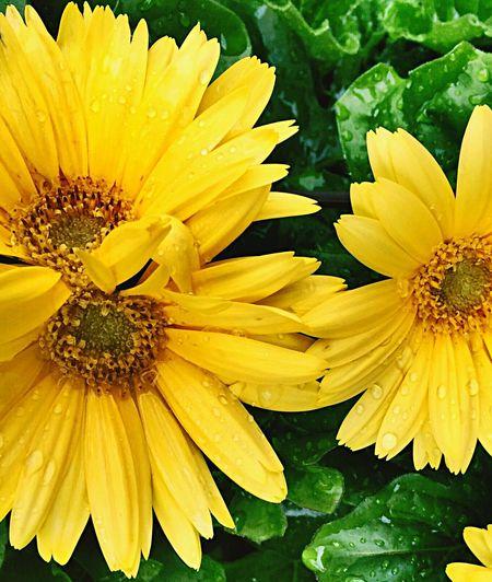 Lemon By Motorola Taking Photos Flowers,Plants & Garden EyeEm Best Shots - Flowers Eye4photography  EyeEm Nature Lover EyeEm Best Shots Nature Nature_collection Flowers
