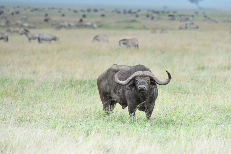 Buffalo standing on grassy land