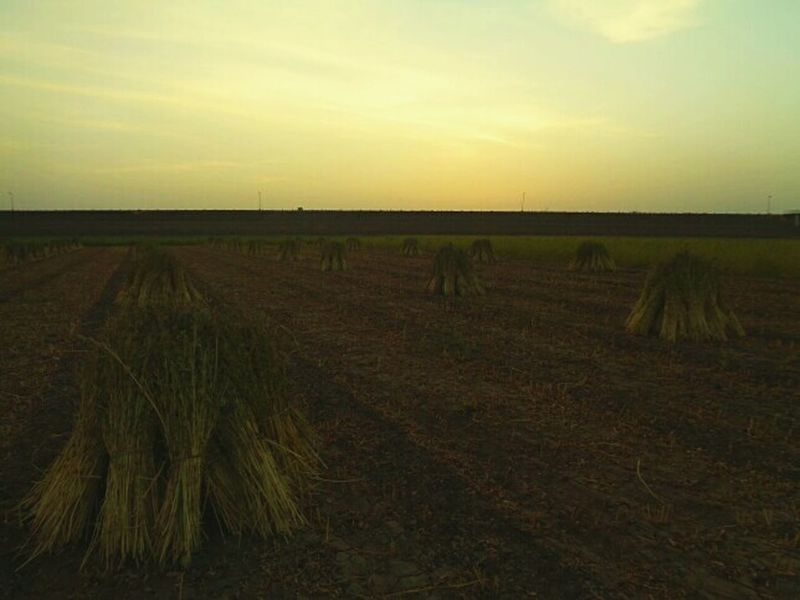 Sunset_collection Heap row Landscape Green Sesame Sesame Leaf Farm Life The Great Outdoors - 2017 EyeEm Awards