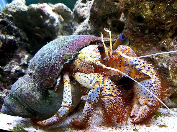 One Animal Sea Life Underwater UnderSea Animal Themes Hermit Crab Crustacean Animals In The Wild Animal Wildlife Sea Animal No People Close-up Nature Beauty In Nature Day Outdoors EyeEmNewHere
