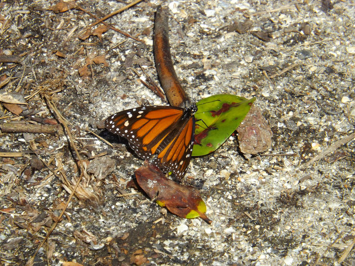 Monarch Butterfly Butterfly In Our Path Pleasant Surprise-not Many Around Brown And Green Looking Down