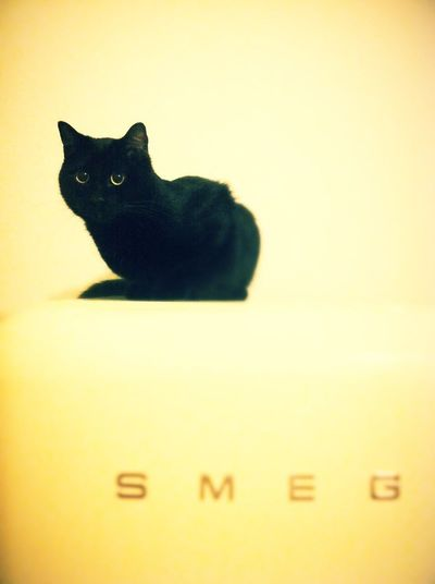 Domestic Cat Animal Themes One Animal Feline Black Color No People Pets Domestic Animals Mammal Indoors  Close-up Day Smeg