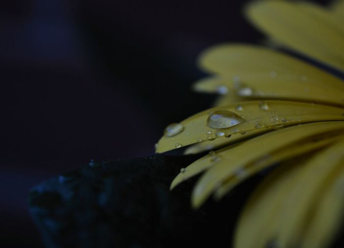 Cropped image of wet yellow flower