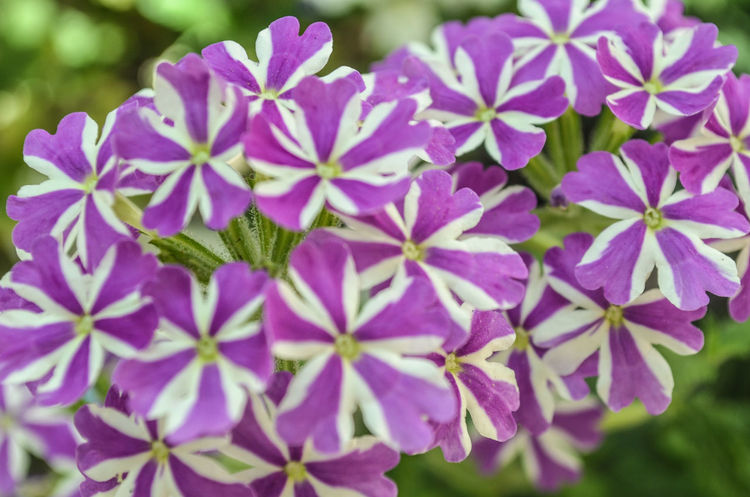 Flower Flowers Plants And Flowers Purple White Purple Flower Outdoors Colorful Freshness Fresh Macro Close-up Greenery Green Background Flowerporn Flower Collection Flowers,Plants & Garden Flowers, Nature And Beauty Nature On Your Doorstep Nature Nature Photography Nature_collection Protecting Where We Play Beauty In Nature Beautiful Nature