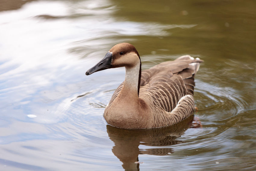 Swan goose called Anser cygnoides swims in a pond in spring in Mongolia Animal Themes Animals In The Wild Anser Cygnoides Avian Bird Birds Day Feather  Geese Goose Nature No People Outdoors Swan Goose Swim Wildbird
