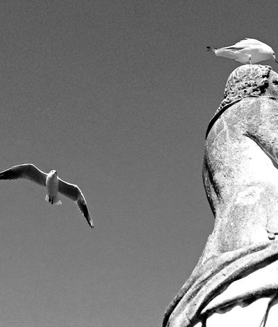 Birds Black & White Mid-air Motion Nature Negative Space Seagull Soaring Up Above Spread Wings