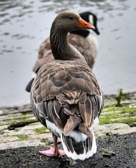 Ducks at lakeside