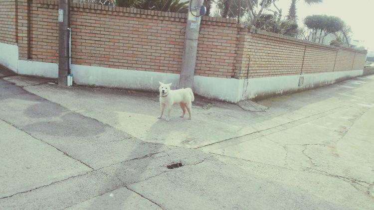 Lost Dog Whitedog White Shortleg