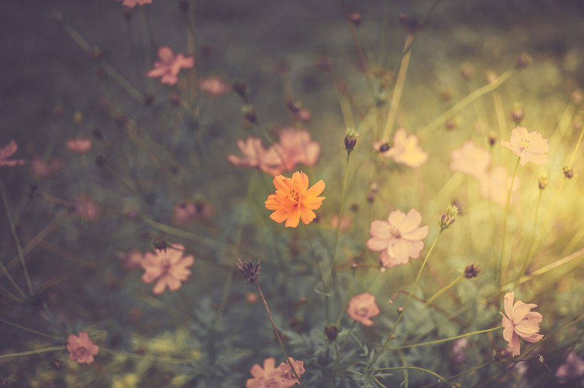 Wildflowers, sunny day, retro toning Retro Sunnyday☀️ Wildflowers In Bloom Beauty In Nature Close-up Cosmos Flower Day Flowering Plant Flowers Growth Nature No People Outdoors Petal Plant Retro Styled Selective Focus Wildflowers