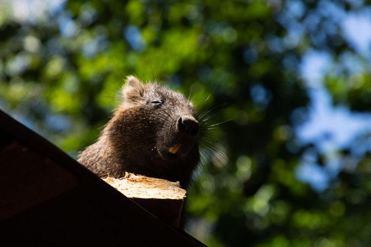 habby beaver