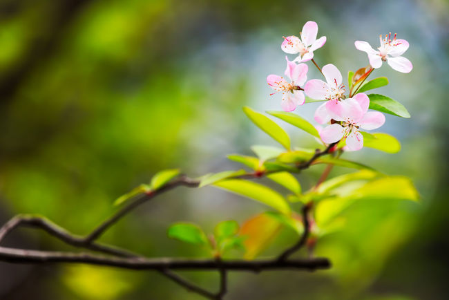Malus spectabilis in spring Malus Spectabilis Beauty In Nature Branch Close-up Day Flower Flower Head Fragility Freshness Growth Leaf Nature No People Outdoors Petal Pink Color Plant Tree