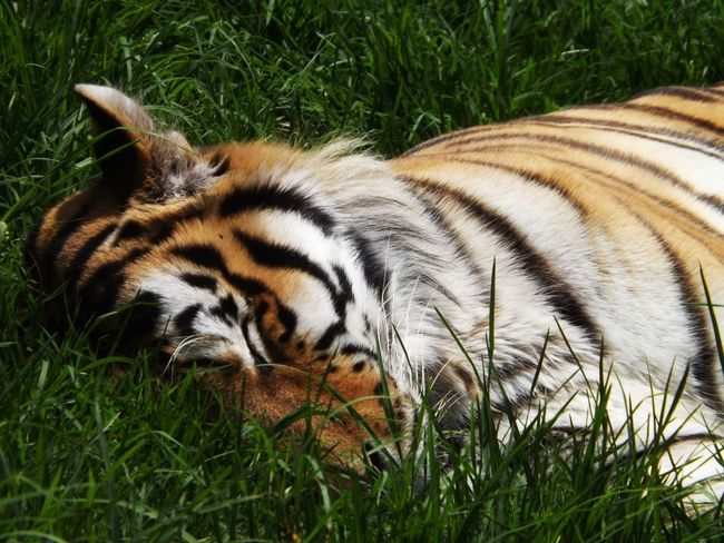 Sleeping Beauty. Animals Tiger Zoo Streamzoofamily EyeEm Nature Lover Feline EyeEm Best Shots Eye4photography
