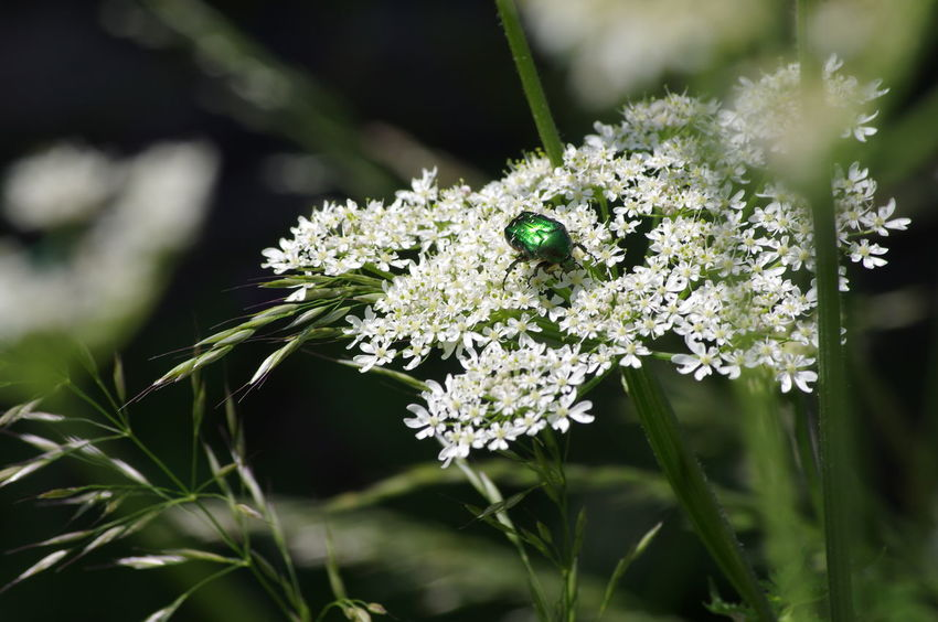Nature Nature_collection Beauty In Nature Rose Chafer Beetle Hedge Row Beauty Flower Insect Biology Close-up Animal Themes Plant Landscape Flower Head Pollen In Bloom Flowering Plant