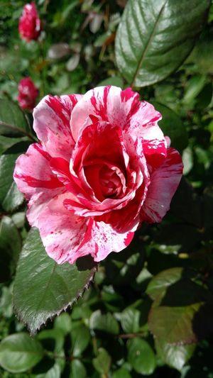 Flower Head Flower Peony  Red Petal Pink Color Wild Rose Rose - Flower Close-up Plant