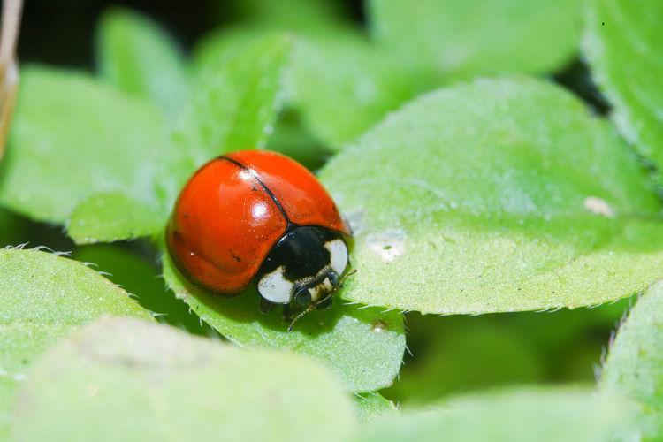 錨紋瓢蟲變異 Ladybug