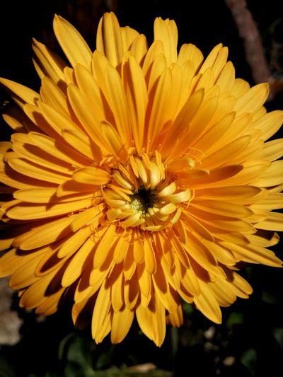 Gerbera Gerberaflower Freshness Beauty In Nature Close-up No People Orange Orange Color Orange Flower