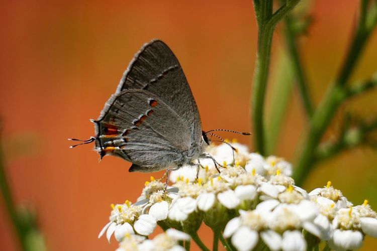 Achillea Millefolium Animal Antenna Animal Markings Beauty In Nature Butterfly Butterfly - Insect California Close-up Flower Fragility Growth Hairstreak Insect Macro Natural Pattern Nature Nature Orange Color Outdoors Petal Plant Pollination Selective Focus Wildlife Yarrow