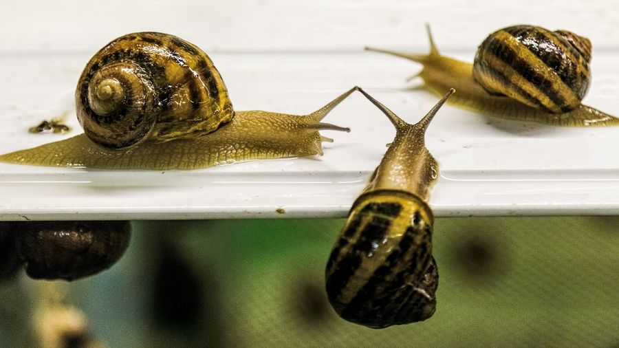 Helix Aspersa Maxima Snail African Snails Animal Shell Animal Themes Close-up Focus On Foreground Gastropod Molluscs Mollusk No People Shell Snail Snails
