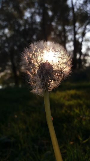 Flower Fragility Stem Dandelion Growth Freshness Focus On Foreground Plant Close-up Beauty In Nature Nature Flower Head Single Flower Day Springtime In Bloom Softness Botany Outdoors Blossom Sunset